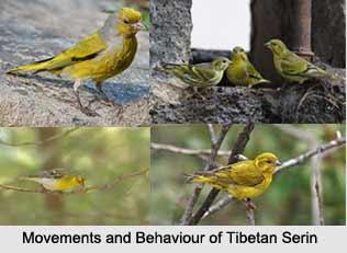 Tibetan Serin, Indian Bird