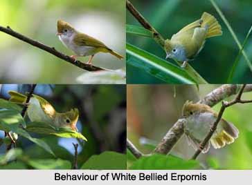 White-Bellied Erpornis, Indian Bird