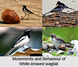 White-browed wagtail, Indian Bird