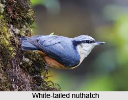 White-Tailed Nuthatch, Indian Bird