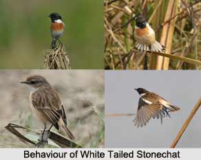 White-Tailed Stonechat, Indian Bird