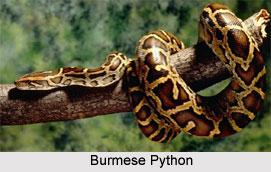 Burmese Python, Indian Reptile