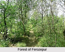 Forests of Ferozepur, Punjab