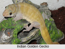 Indian Golden Gecko, Indian Reptile