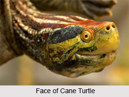 Cochin Forest Cane Turtle, Indian Reptile