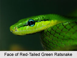 Red-Tailed Green Ratsnake, Indian Reptile