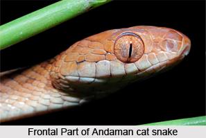 Andaman Cat Snake, Indian Reptile