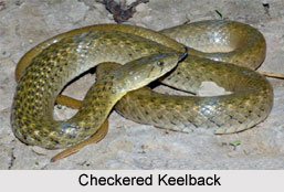 Checkered Keelback, Indian Reptile