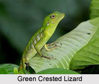 Green Crested Lizard, Indian Reptile