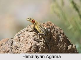 Himalayan Agama, Indian Reptile