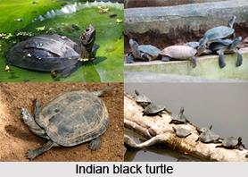 Indian Black Turtle, Indian Reptile