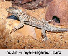 Indian Fringe-Fingered Lizard, Indian Reptile