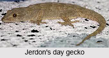 Jerdon's Day Gecko, Indian Reptile