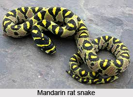 Mandarin Rat Snake, Indian Reptile