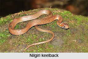Nilgiri Keelback, Indian Reptile