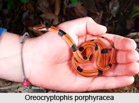 Oreocryptophis Porphyracea, Indian Reptile