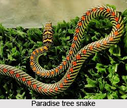 Paradise Tree Snake, Indian Reptile