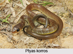 Ptyas Korros, Indian Reptile