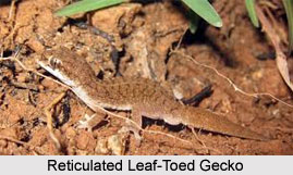 Reticulated Leaf-Toed Gecko, Indian Reptile