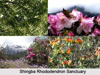 Shingba Rhododendron Sanctuary, Sikkim
