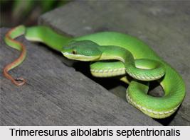 Trimeresurus Albolabris Septentrionalis, Indian Reptile