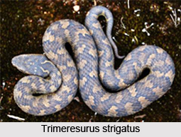 Trimeresurus Strigatus, Indian Reptile