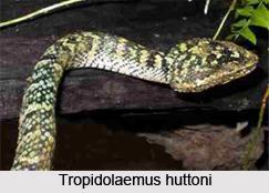 Tropidolaemus Huttoni, Indian Reptile