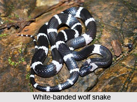 White-Banded Wolf Snake, Indian Reptile