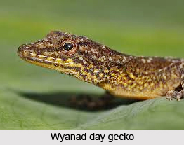 Wyanad Day Gecko, Indian Reptile