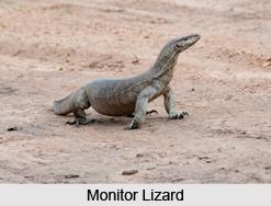 Monitor Lizard, Indian Reptile