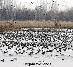 Hygam Wetlands, Baramulla District, Jammu and Kashmir
