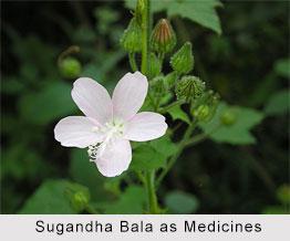 Use of Sugandha Bala as Medicines, Classification of Medicine