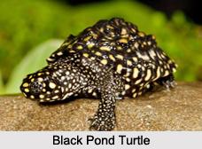 Indian Turtles