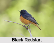 Indian Redstarts, Indian Birds