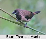 Indian Munia, Indian Bird