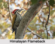 Indian Flamebacks, Indian Birds