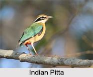 Indian Pittas, Indian Birds
