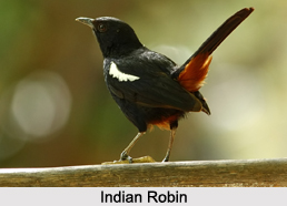 Indian Robins