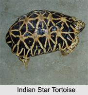 Indian Tortoises