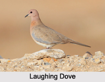 Indian Doves, Indian Birds
