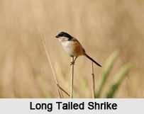 Indian Shrikes, Indian Birds