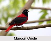Indian Orioles, Indian Birds