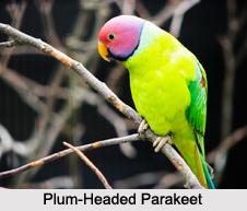 Indian Parakeets