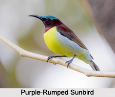Indian Sunbirds