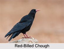 Indian Choughs, Indian Birds