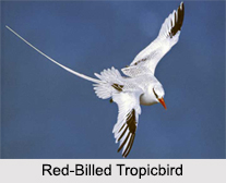 Indian Tropicbirds
