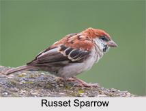 Indian Sparrows, Indian Bird