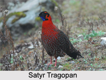 Indian Tragopans, Indian Bird