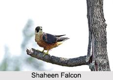 Indian Falcons