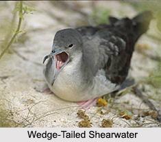 Indian Shearwaters, Indian Birds